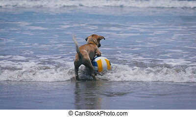 Dog brown color of the water. On the beach in Ocean volleyball. Animal wearing a collar with her play in the water. Waves of waxing and waning. The sunny weather