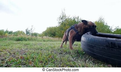Dog carries a car tire in teeth. Forest. Slow motion. Close...