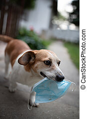 Dog carrying surgical mask in mouth