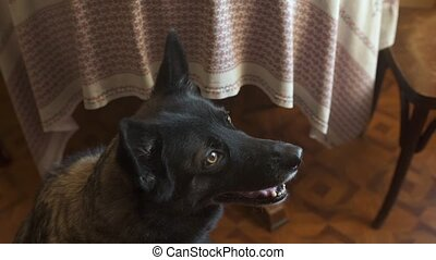 Dog catches a treat that was thrown to it