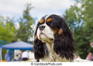 dog Cavalier King Charles Spaniel - close-up portrait of a...