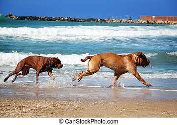 Two dog chase each other on the beach