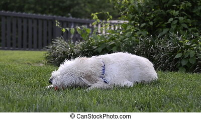 Dog Chewing on Ball - A light colored labradoodle chews on a...