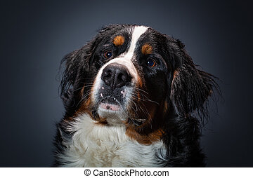Dog. Close-up head. Bernese mountain dog. Portrait of a beautiful dog on a dark gray background in the Studio