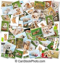Dog collage - A collage of photos of golden retriever, a...