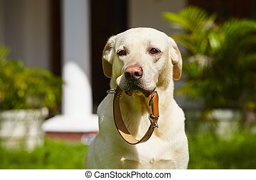 Dog is waiting with dog collar in mouth.
