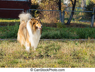 Dog collie walks in the park