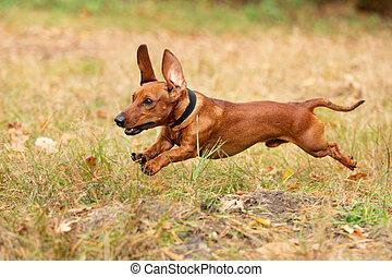 Dog Dachshund in a park, autumn colors