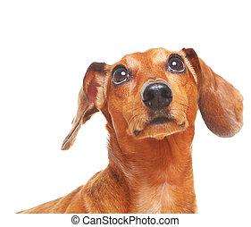 dog, dachshund, op, blik