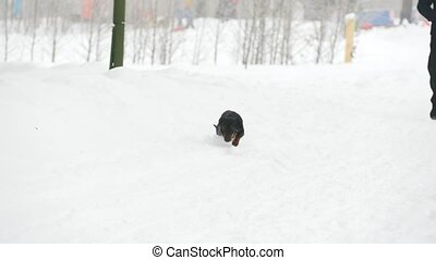 Dog dachshund playing and running in the snow, telephoto