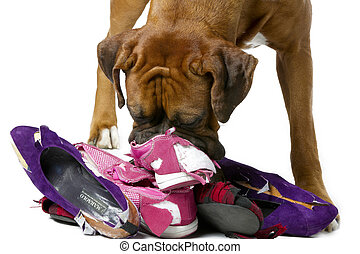 dog destroying shoes - Dog tearing up worn shoes.