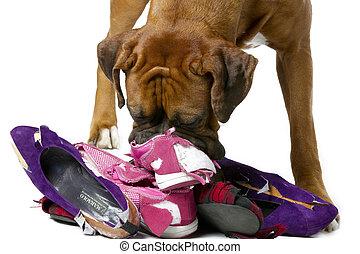 dog destroying shoes - Dog tearing up worn shoes.