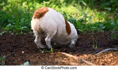 dog digging a hole. Jack russell terrier digs the ground