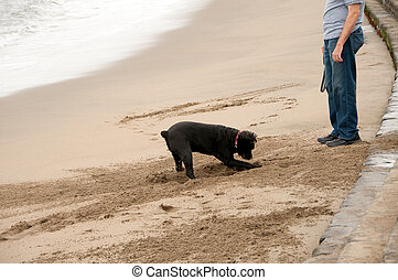dog digging hole at owner\'s feet - walking the dog at san...