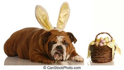 dog dressed as easter bunny - english bulldog with bunny...