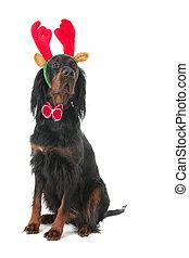 Dog dressed as reindeer for Christmas