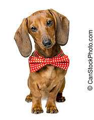 Dog Dressed Bow Tie, Portrait of Dackel with Bow-Tie Animal...