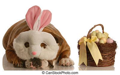 dog dressed bunny - english bulldog dressed up as easter...