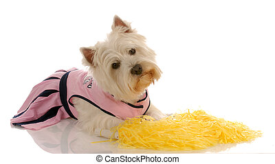 dog dressed up as a cheerleader - west highland white...