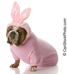 dog dressed up as easter bunny - english bulldog wearing...