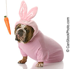 dog dressed up as easter bunny - unimpressed looking english...