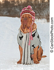 Dog dressed with hat, scarf and sweater