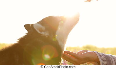 Dog drinking water from the hands of the owner. Water is...