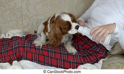 Dog Drinking Yoghurt