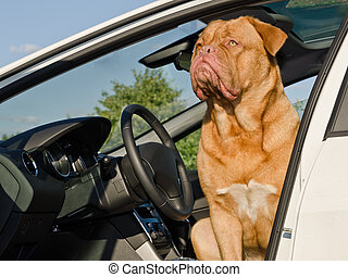 Dog driver sitting in the car