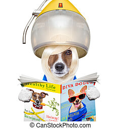 dog drying hair at hairdressers - jack russell terrier dog...