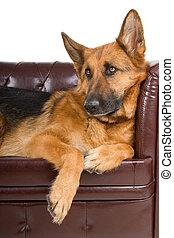dog, duitse herdershond