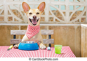 dog eating a the table with food bowl - hungry chihuahua dog...