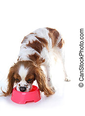 Dog eating animal food with red plastic bowl. Hungry dog photo illustration. Dog food with puppy. Cavalier king charles spaniel on isolated white studio background. Puppy eating in studio.