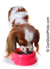 Dog eating animal food with red plastic bowl. Hungry dog photo illustration. Dog food with puppy. Cavalier king charles spaniel on isolated white studio background.