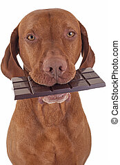 dog eating chocolate - pure breed golden dog holding real...