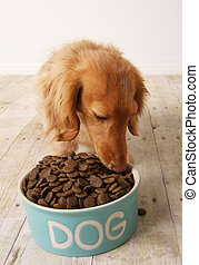 Dog eating food - dachshund dog eating dog food out of her...
