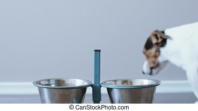 Dog eating out of his bowl - Jack Russell Terrier eating out...
