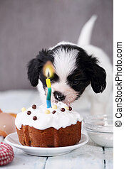 Dog eats cake - Little Puppy Papillon with a celebratory...
