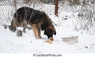 Dog eats meat on snow at winter - Hungry dog eats meat on...
