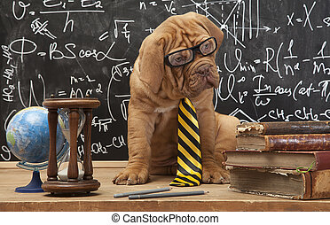 Cute puppy of French Mastiff breed with yellow necktie sitting in front of blackboard