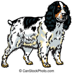 english cocker spaniel - dog english cocker spaniel breed,...