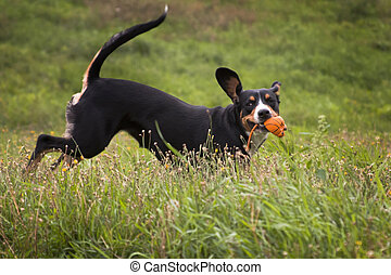 Dog entlebucher mountain dog plays with a ball