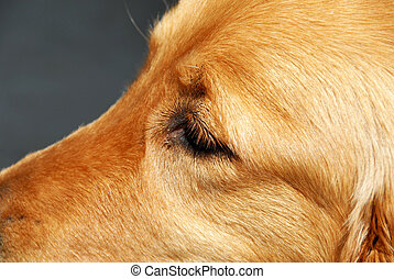 golden retriever eye side view closeup