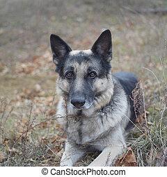 Dog Face In Alert