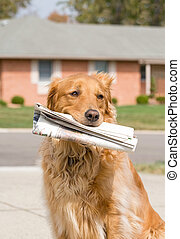 Dog Fetching the News Paper - Golden Retriever Fetching the...