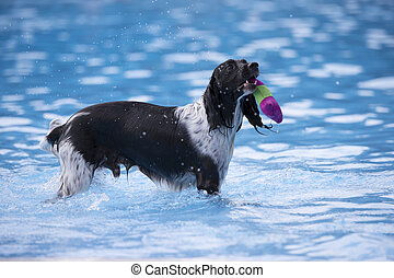 Dog fetching toy in swimming pool