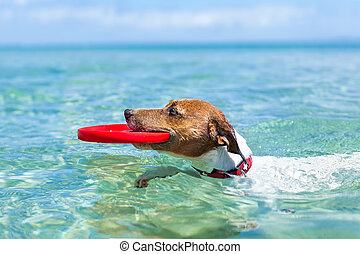 dog frisbee - dog catching a red frisbee and swimming in...