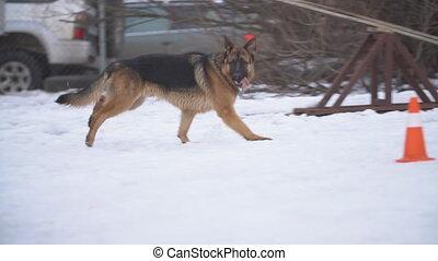 dog German shepherd breed in winter - dog German shepherd...