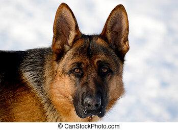 Dog german shepherd in a park