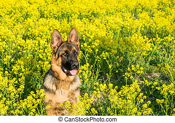 Dog, German shepherd sitting on the field with yellow flowers